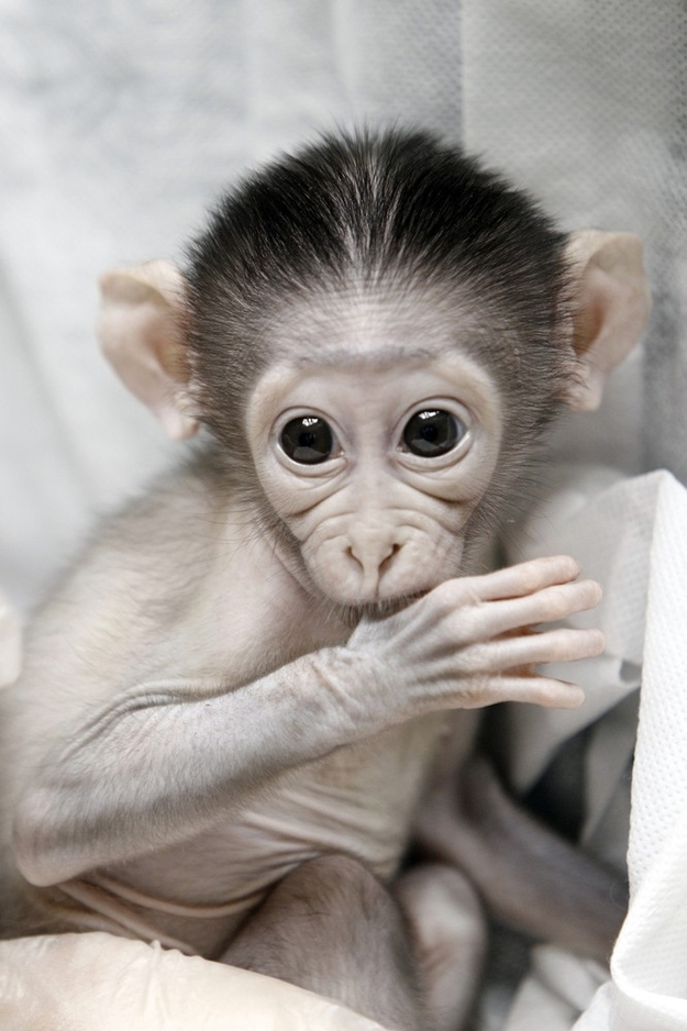 Cute Baby Monkeys Shy Monkey At Paris Zoo Crown Male Mangabey Pictures