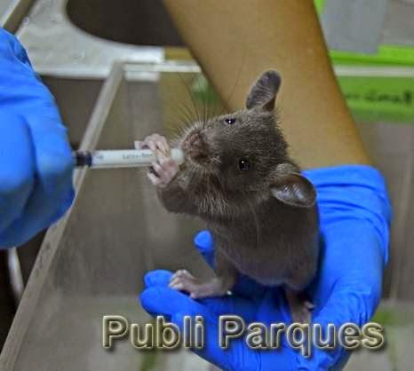 Cría de rata gambiana