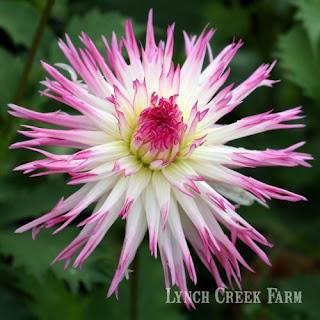 Marlene Joy, a laciniated cactus dahlia.