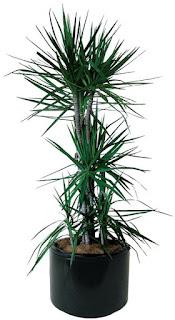 tanaman Marginata