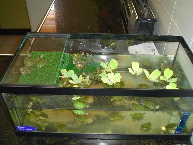 Estanques para tortugas de agua como hacer una pecera for Acuario tortugas