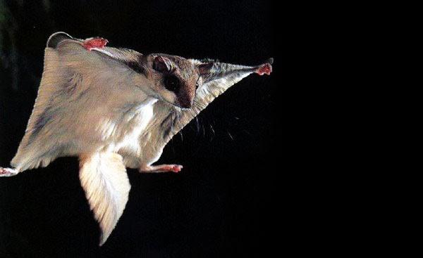 10 Binatang yang Bisa Terbang Tanpa - 25.7KB