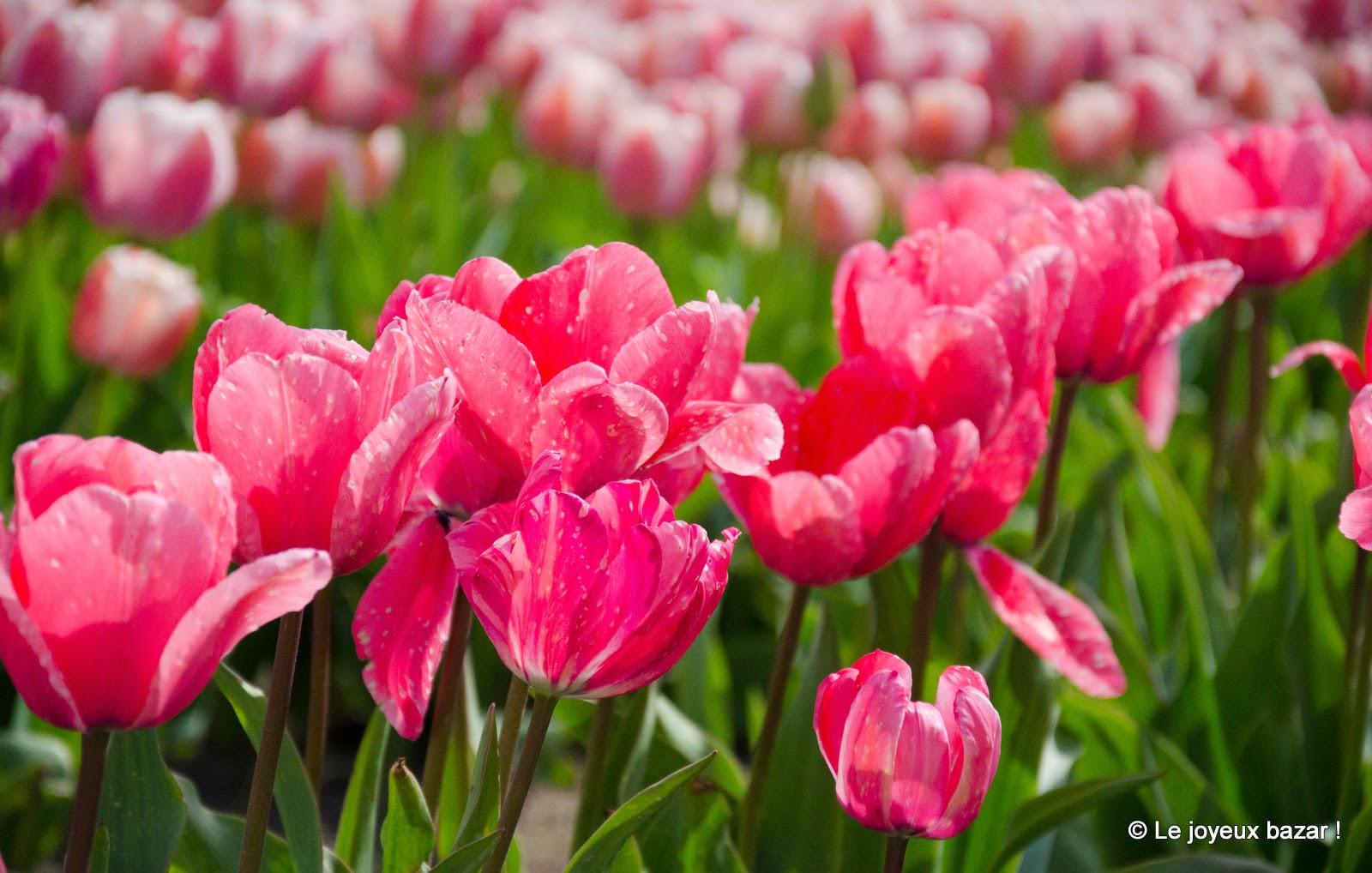 Bretagne - La Torche - champs de tulipes