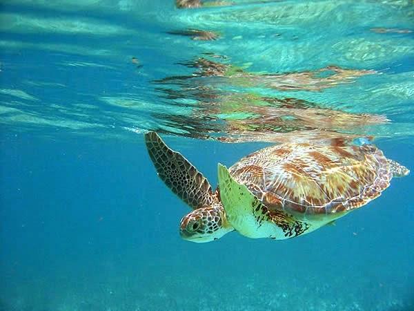 Akumal turtle, Mexico