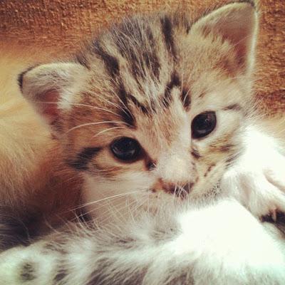 gambar-anak-kucing-lucu _ 01