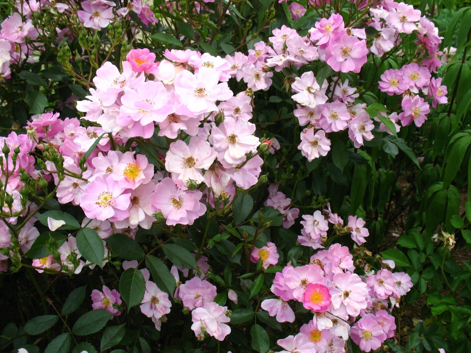 roses du jardin ch neland trois rosiers lavender. Black Bedroom Furniture Sets. Home Design Ideas