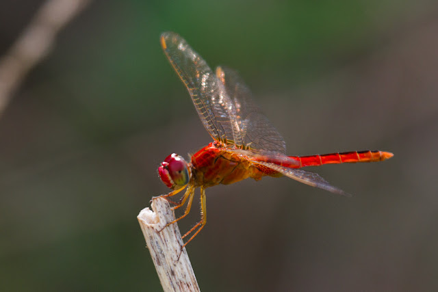 A photograph of a scarlet Basker taken in Thalangama, Sri Lanka