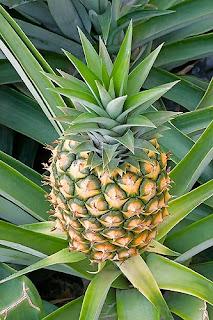 Abacaxi (Ananas comosus L.,Merril)