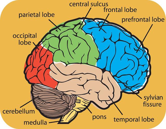 Brain For Kids