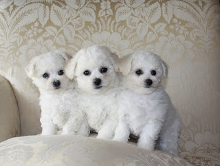 Cute Bichon Frise Puppies Pictures