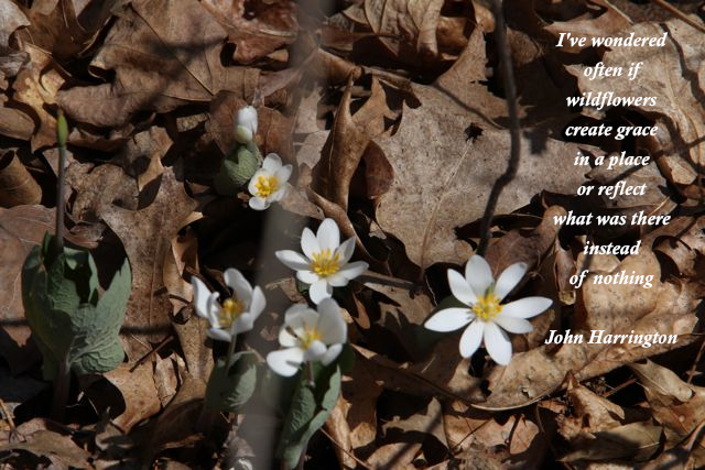 bloodroot blossoms and poem