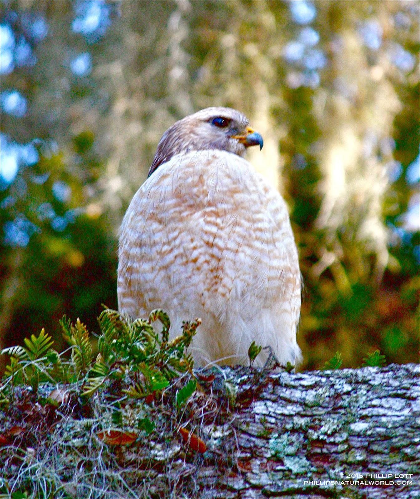 Red Shouldered Hawk Newborn