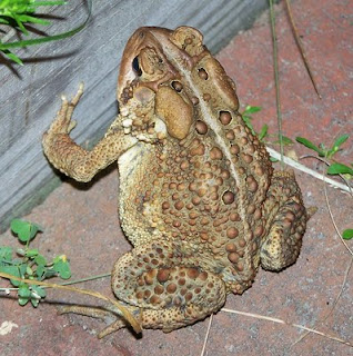Things that go Jump in the Night: American Toad (Bufo Americanus or Anaxyrus americanus)