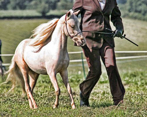 Indiana Miniature Horses: What are Miniature horses good for?