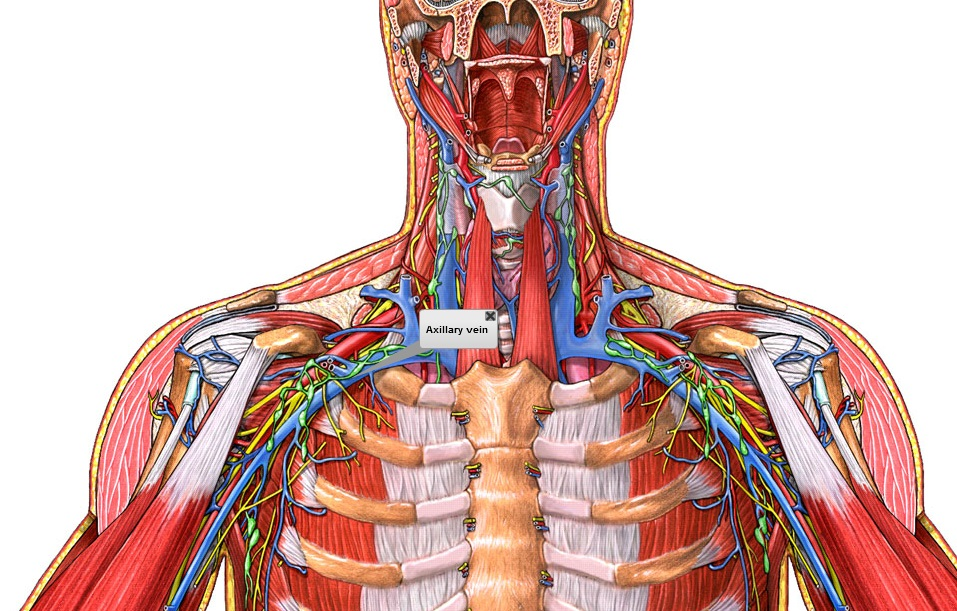 tarea venas y arterias   clases de sistemas mony