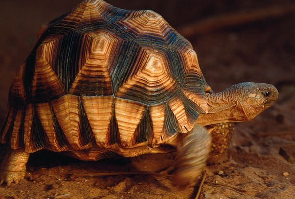 The plougshare tortoise is so beautiful it s a curse the animal is