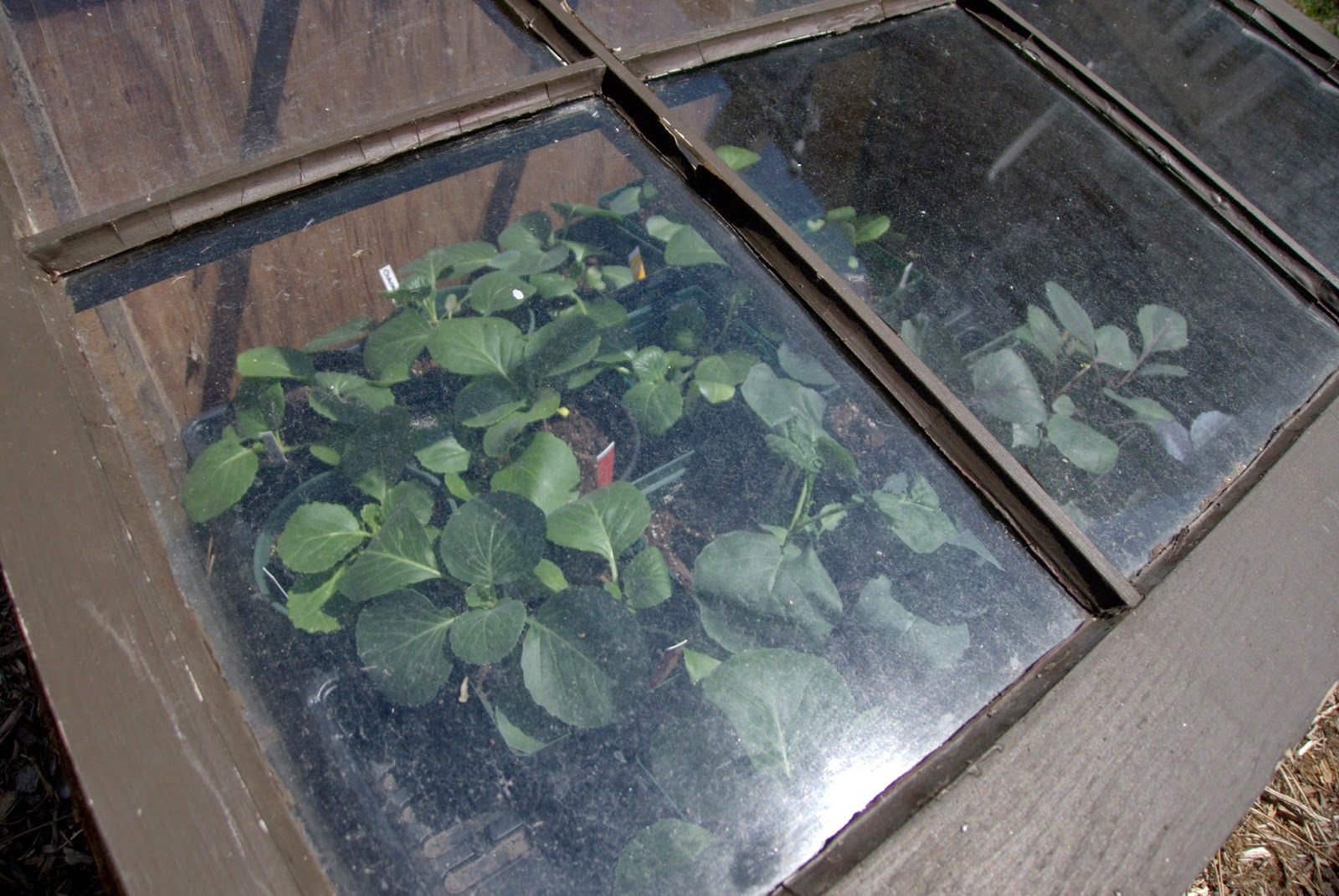 How to harden off plants with a cold frame