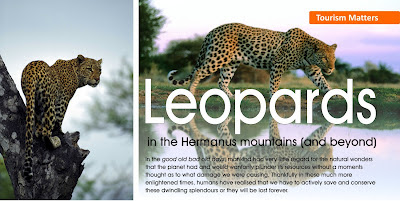 Leopards in Hermanus and beyond (part 2)