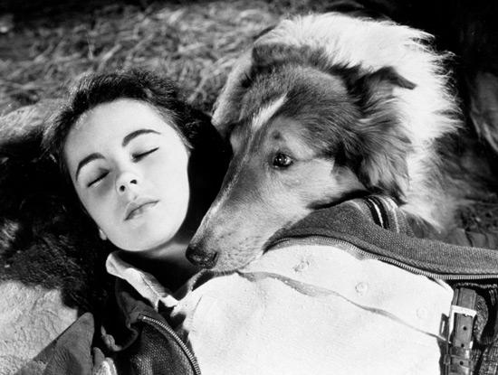 Az 1943-as feldolgozásban Liz Taylor és Pal (Lassie)