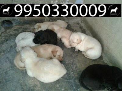 Price of rottweiler puppies in jaipur