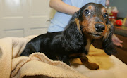 Sweet Dachshund Puppy Thrown Out A Third Floor Balcony: She's A Miracle Baby