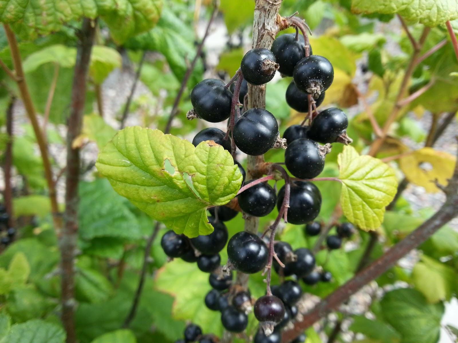 svarta vinbär saft