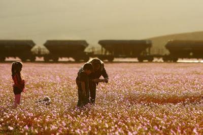Пустыня Атакама (север Чили), одно из самых сухих мест нашей планеты, превратилась в сказочный край с розовыми цветами