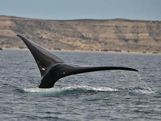 Kayak avec les baleines en Patagonie - Péninsule Valdés