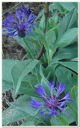Perennials in Blue-Med/Tall