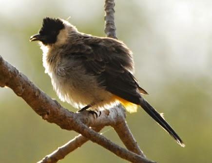 Foto Burung Kutilang Malaysia Terbaik