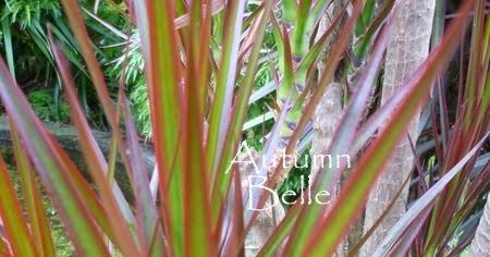 BBC  Gardening Plant Finder  Dracaena  Madagascar
