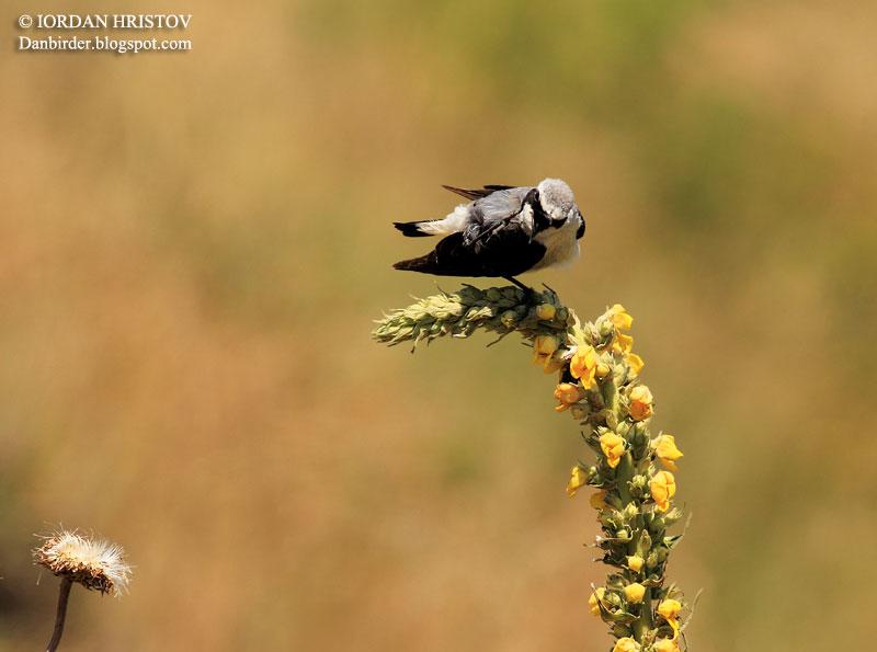 Northern Wheatear photography in Bulgaria
