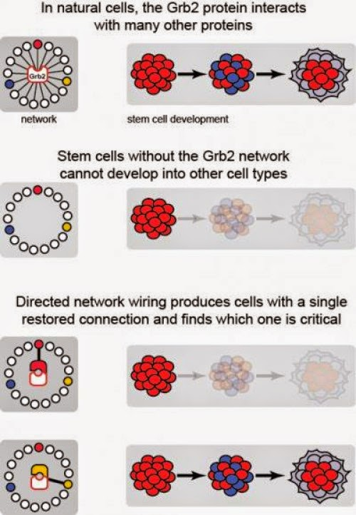 Directed Network Wiring stem cells