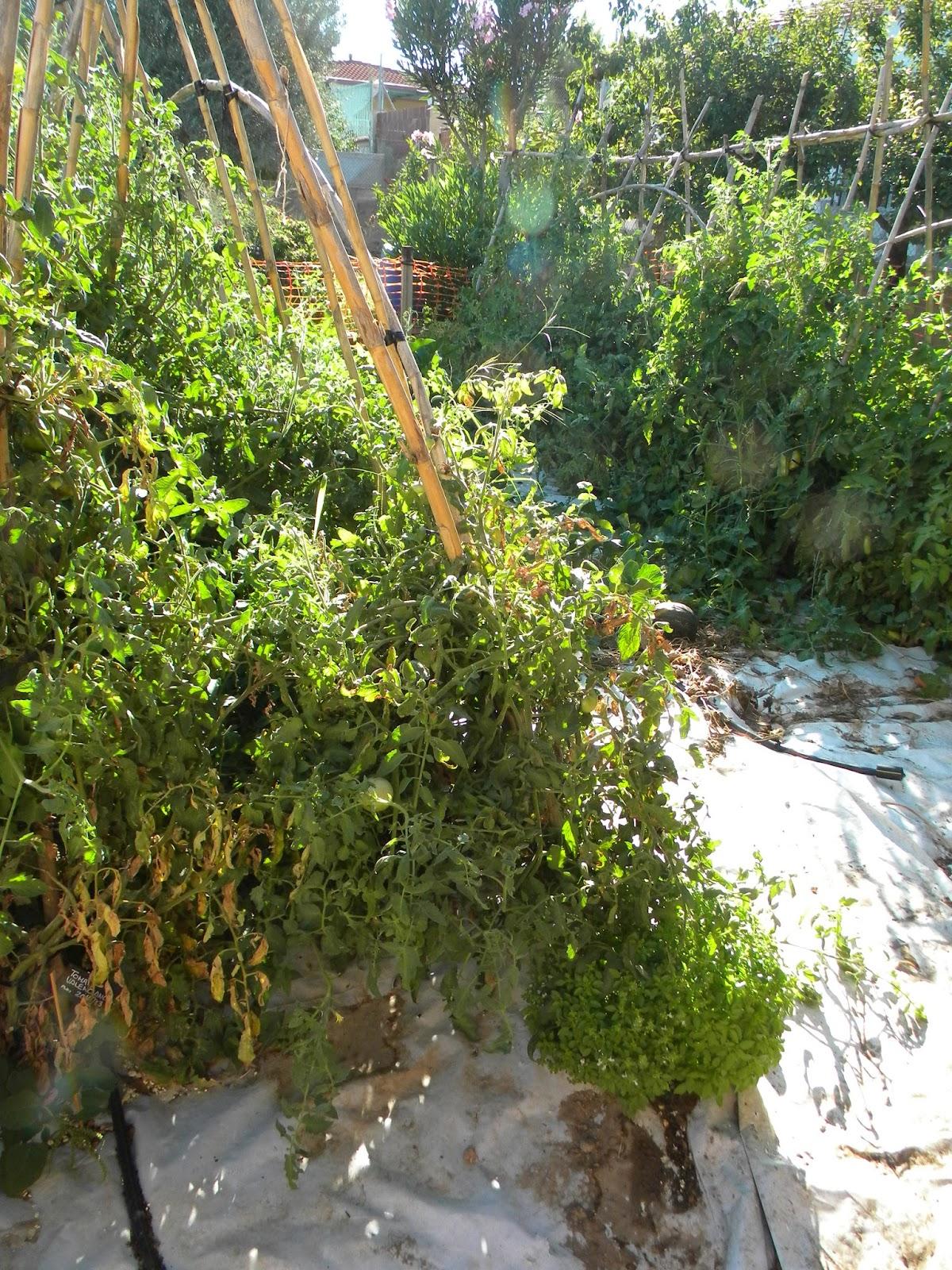 El huerto de tatay la albahaca comienza a florecer for Matas de viveros
