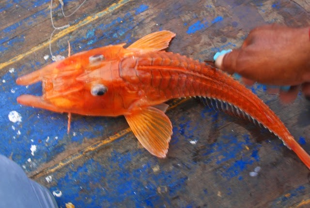 Strike Ikan Misterius aneh bertanduk