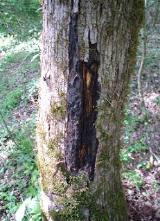 Enfermedades del alcornoque Hypoxilon mediterraneum, es un hongo semiparásito que afecta al alcorno