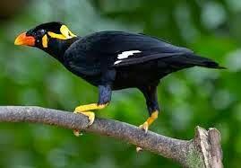 Burung Beo Asli