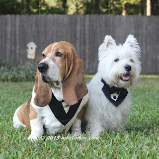 Bentley Basset and Pierre Westie in tuxedos
