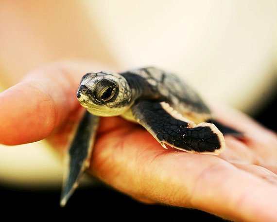 Best photos 2 share 8 cute pictures of baby turtles - Cute turtle pics ...