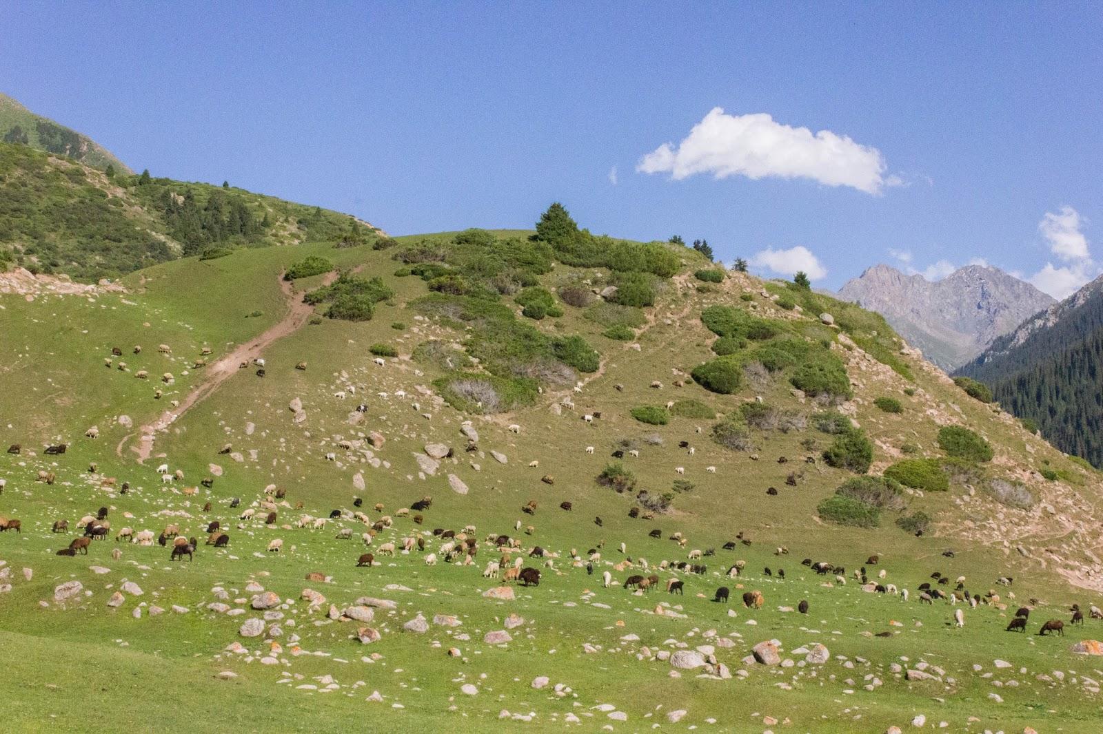 Кыргызстан, Джеты-Огуз, Иссык-Куль, разноцветные бараны
