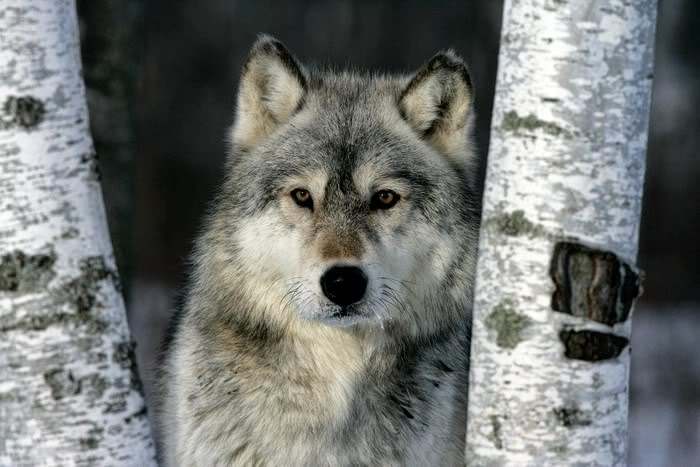 If You Don't Speak Up for Wolves Now, Decades of Conservation Work Will Be Destroyed