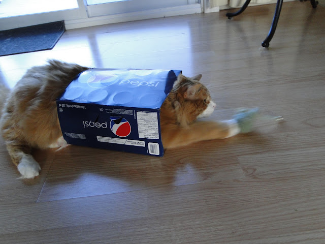 Murchyk Cat in a Pepsi Box
