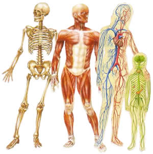 Ciencias de joseleg viaje al interior del cuerpo humano for Cuerpo humano interior