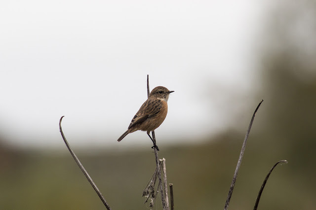 Female Stonechat - Manor Farm, Milton Keynes