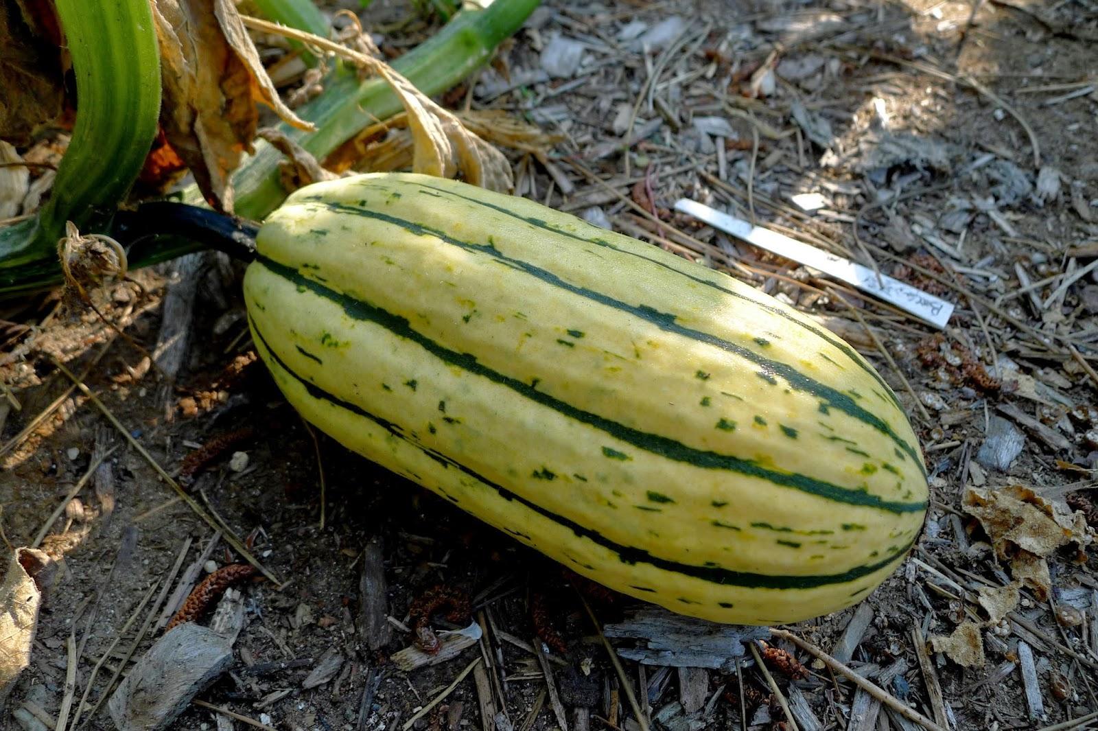 Ripe Delicata Squash, urban farming, gardening
