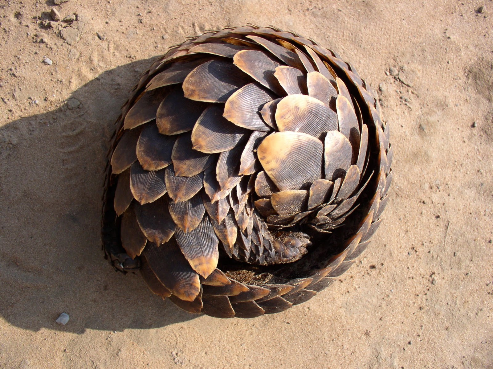Lets learn a little about MH4U - Page 3 Pangolin-pic-2013-04