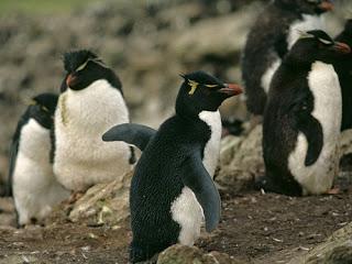 Foto Pinguin Rockhopper