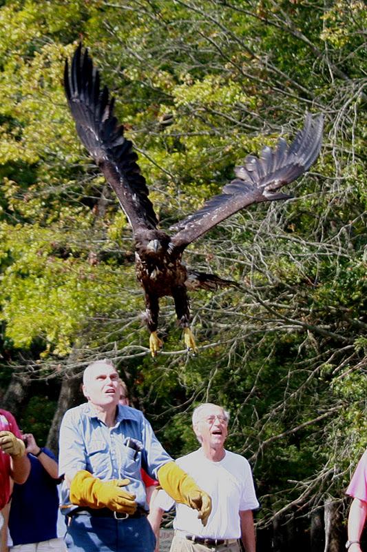 Comparação do tamanho de águias  com relação ao homem. 3862_Eagle+Release+8-30-11Crop2