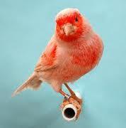 Dunia Burung Kenari