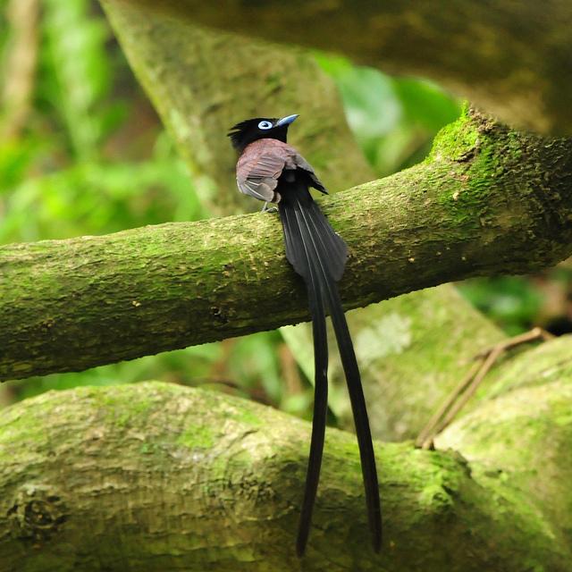 cherry wood oiseaux du paradis. Black Bedroom Furniture Sets. Home Design Ideas